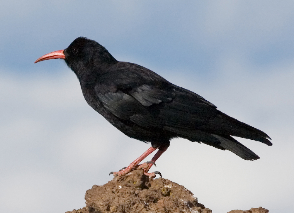 Red-billed Chough wallpaper