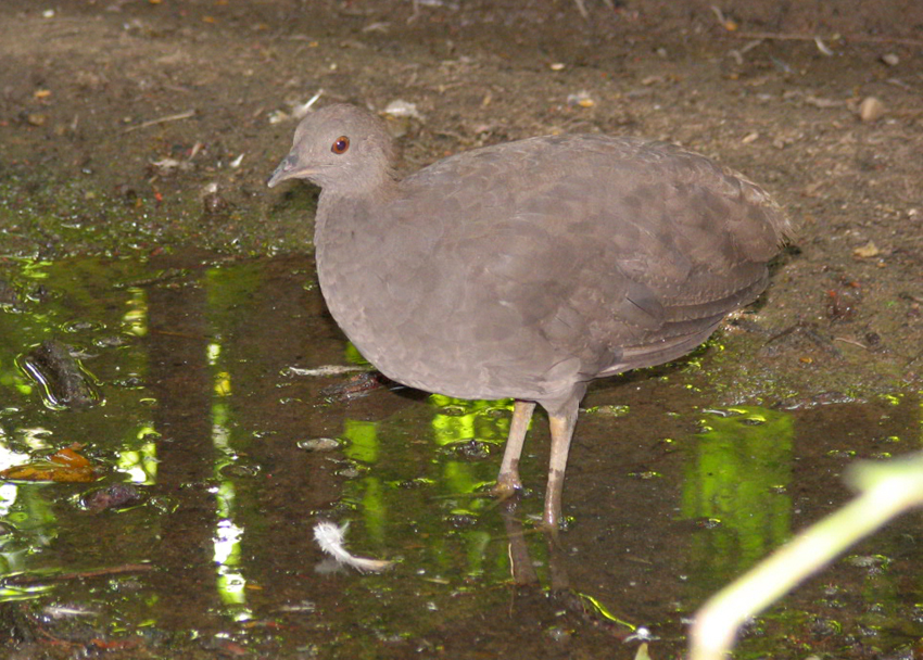 Cinereous Tinamou wallpaper