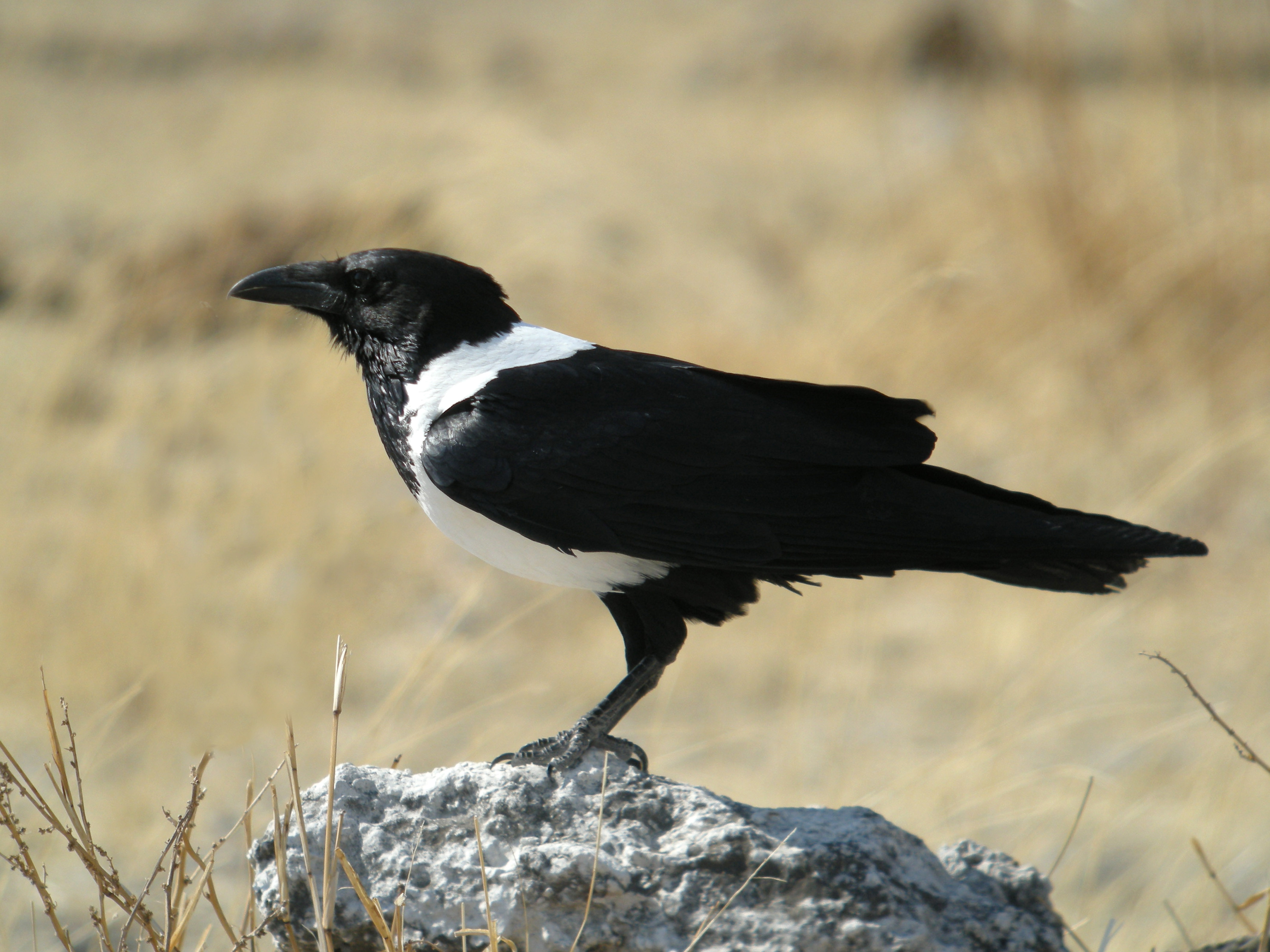 Pied Crow wallpaper