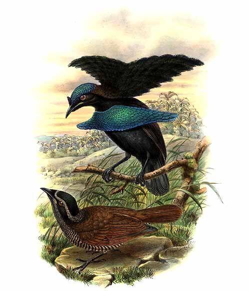 Superb Bird of Paradise wallpaper