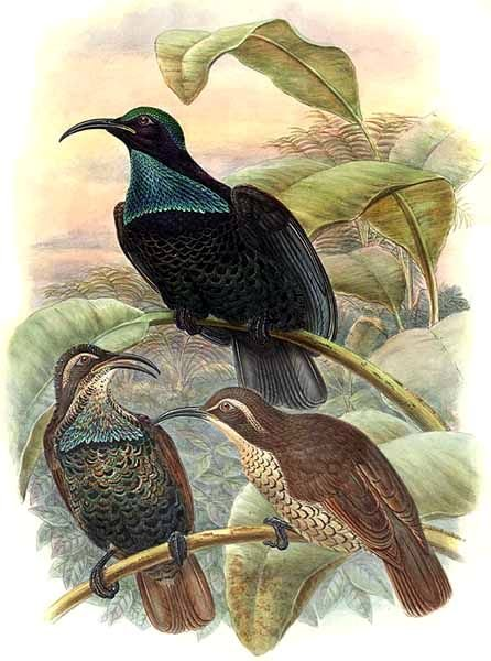 Paradise Riflebird wallpaper