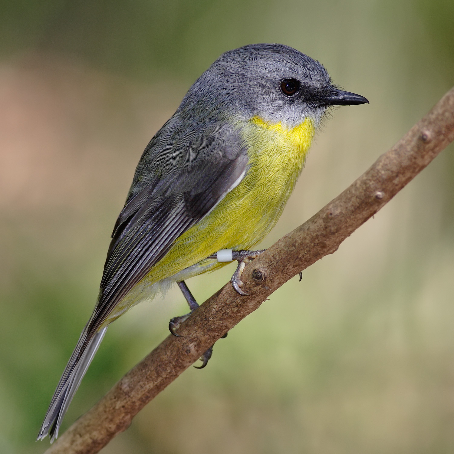 Eastern Yellow Robin wallpaper