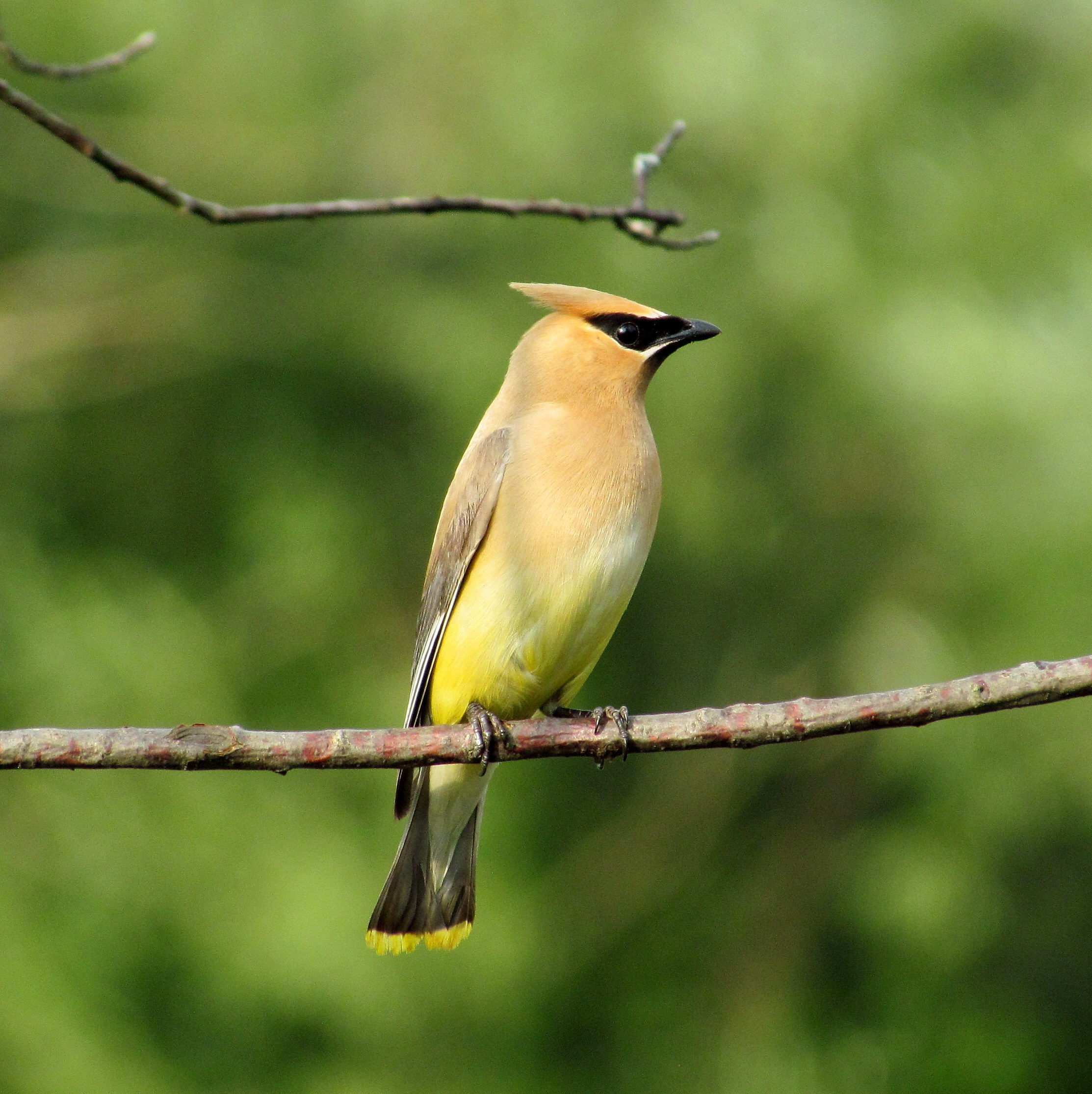 Cedar Waxwing wallpaper