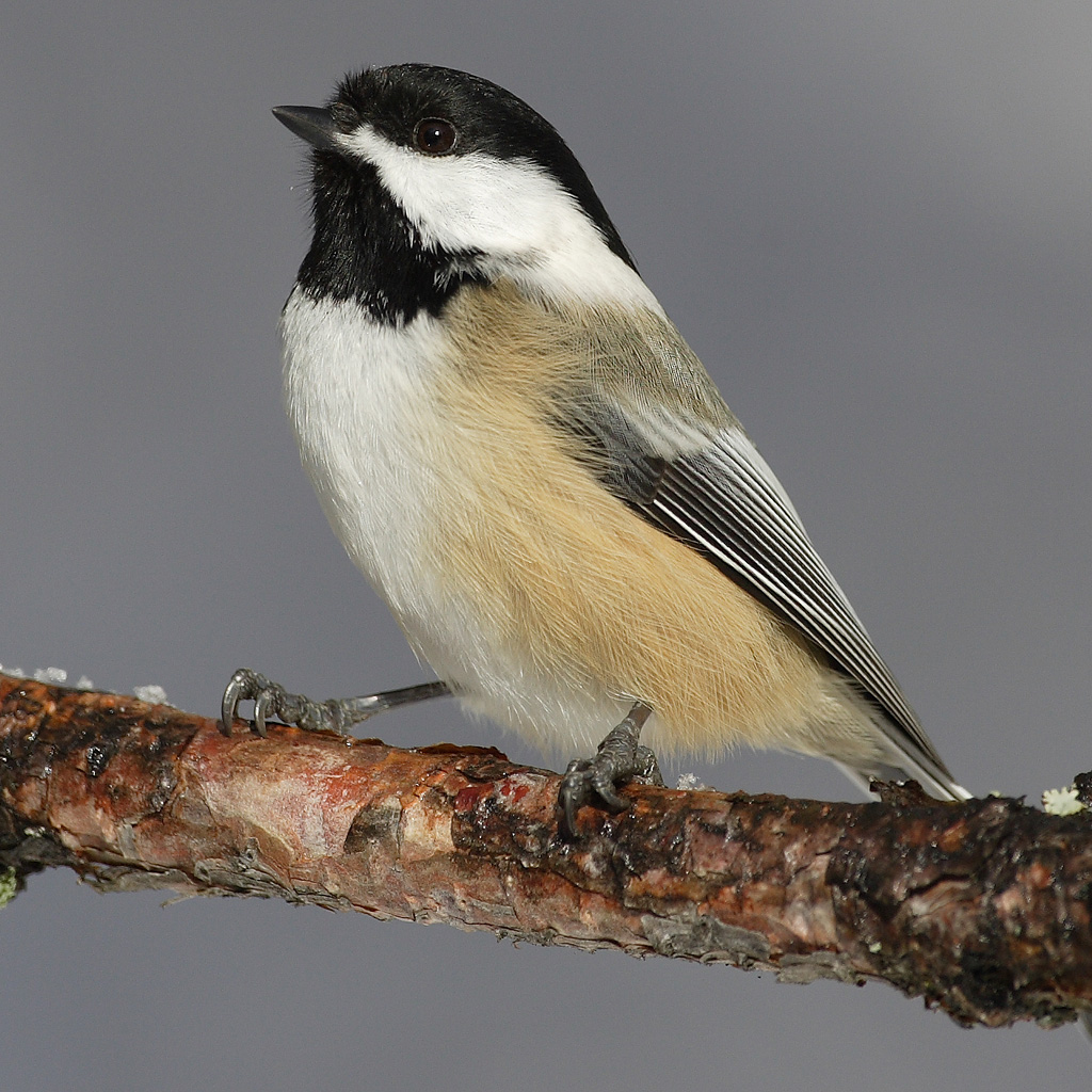 Black-capped Chickadee wallpaper