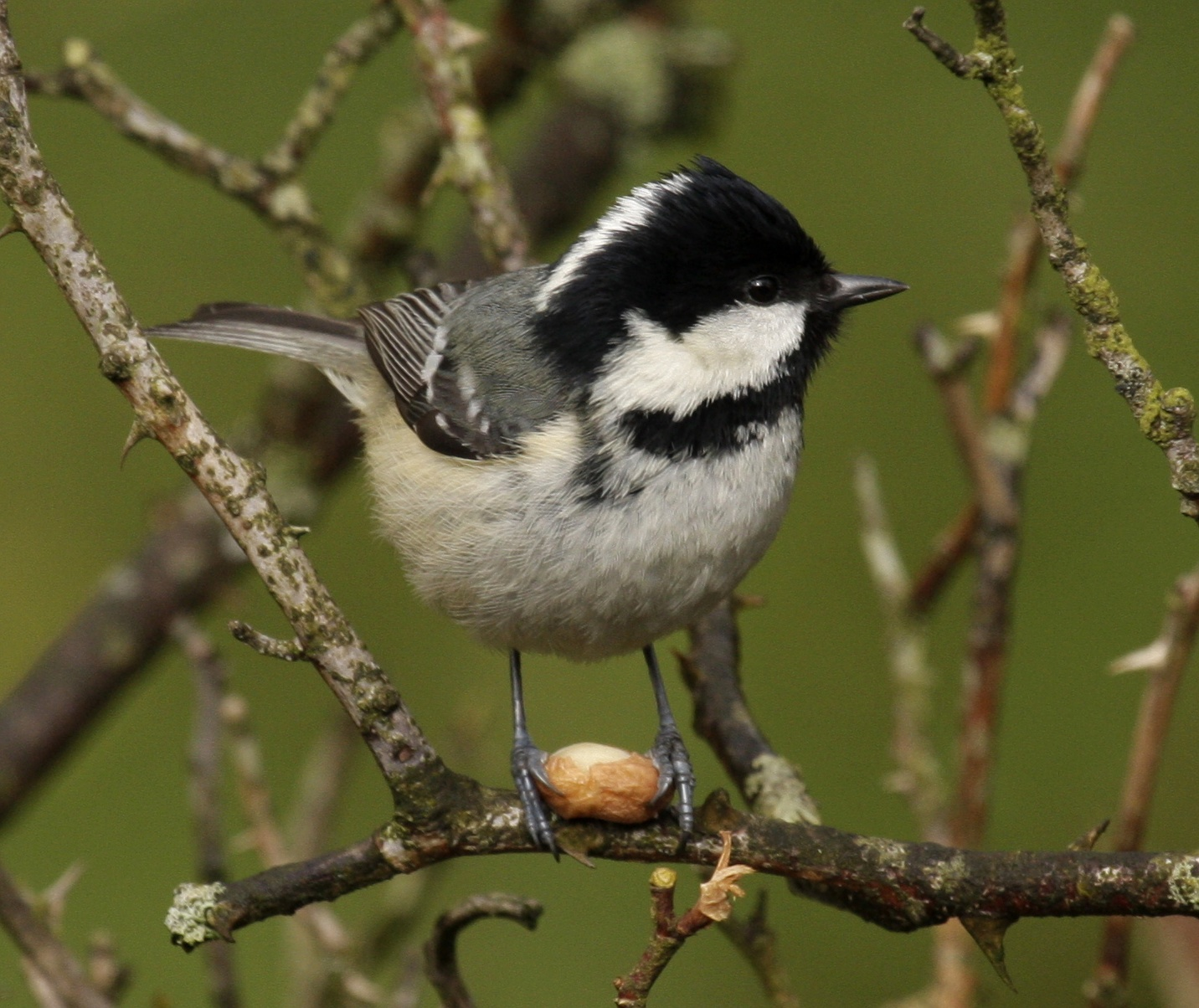 Coal Tit wallpaper