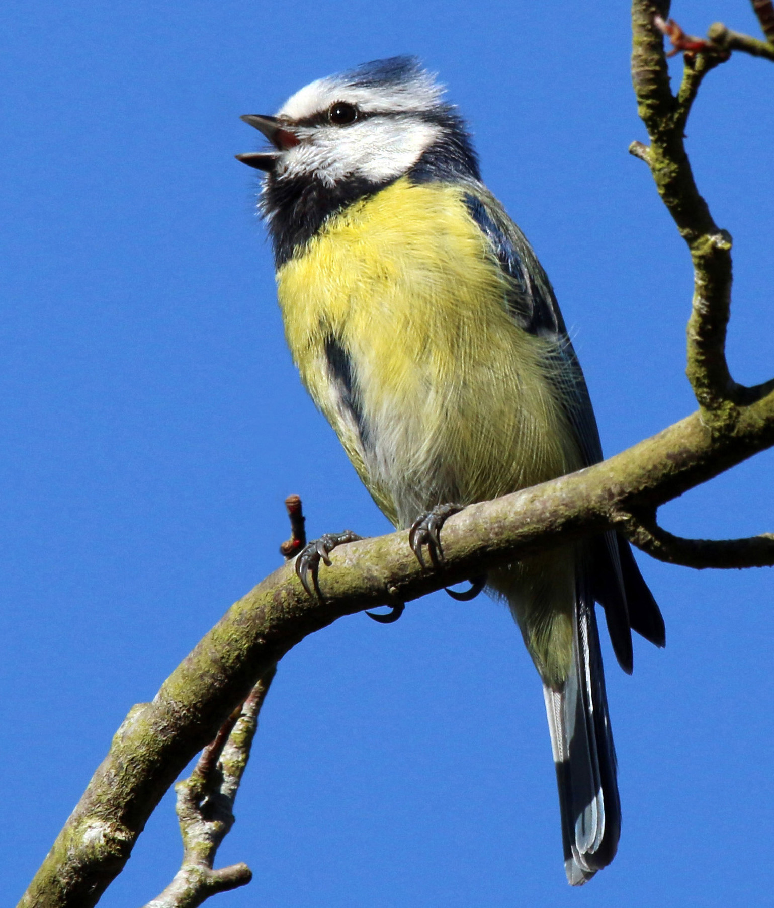 Blue Tit wallpaper