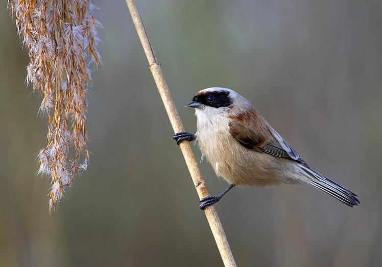 European Penduline Tit wallpaper