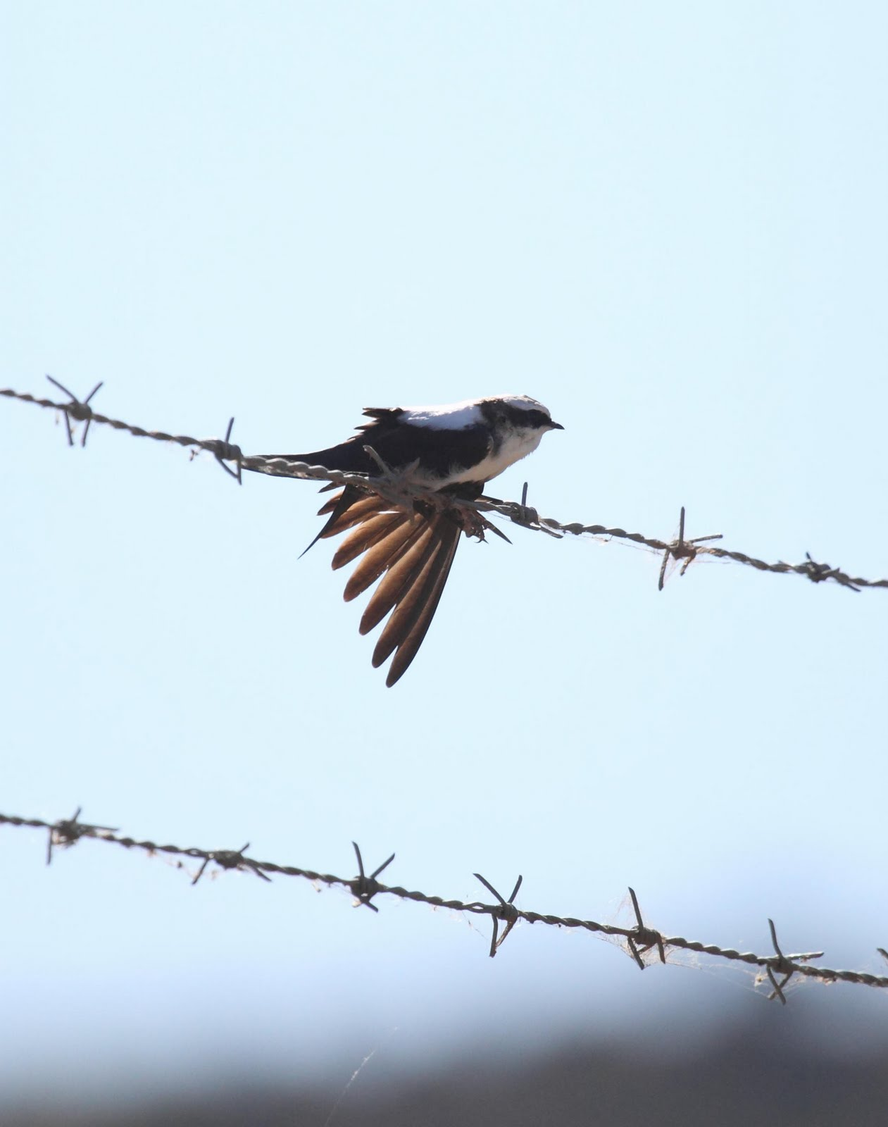 White-backed Swallow wallpaper