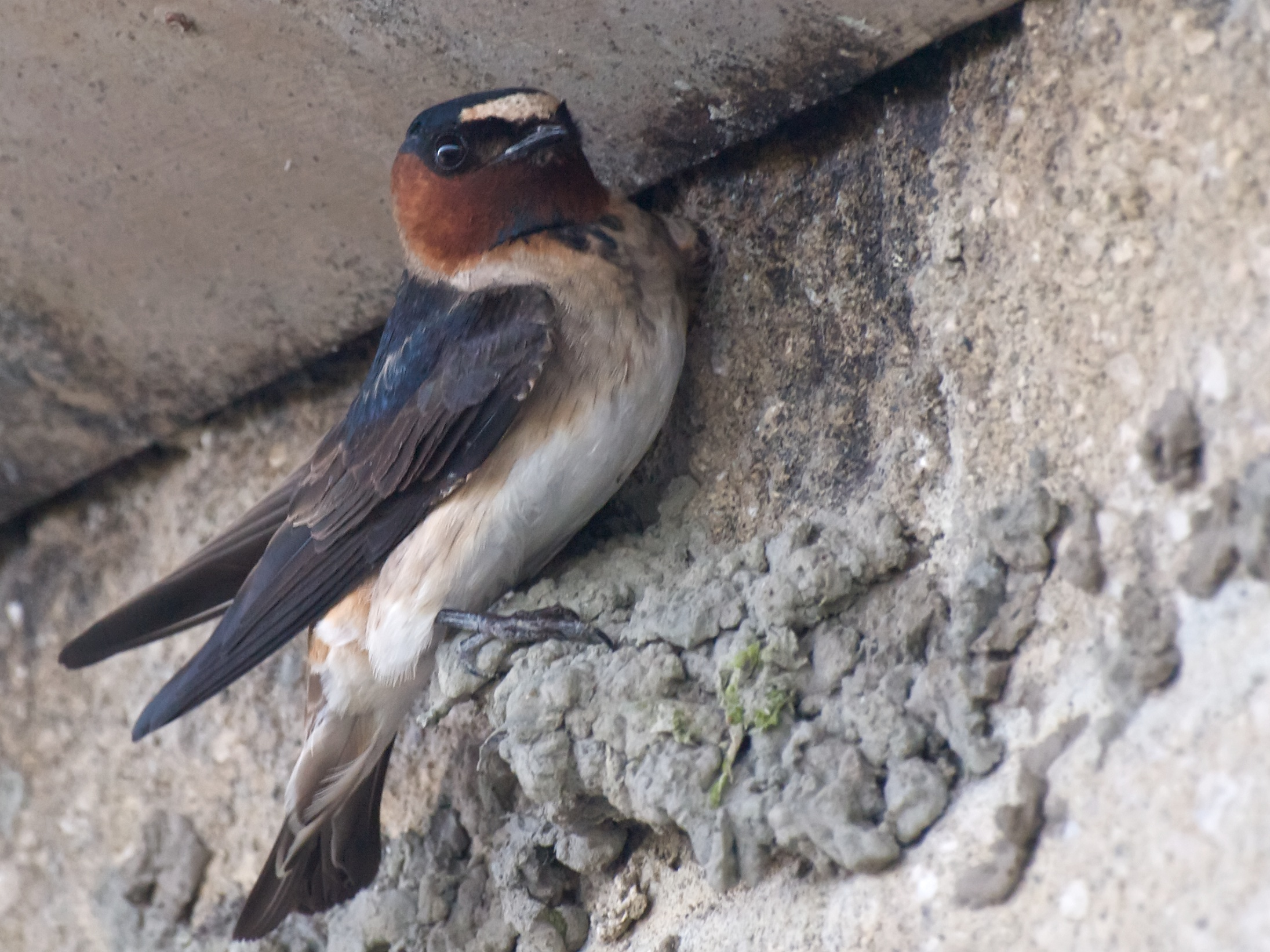 Cliff Swallow wallpaper