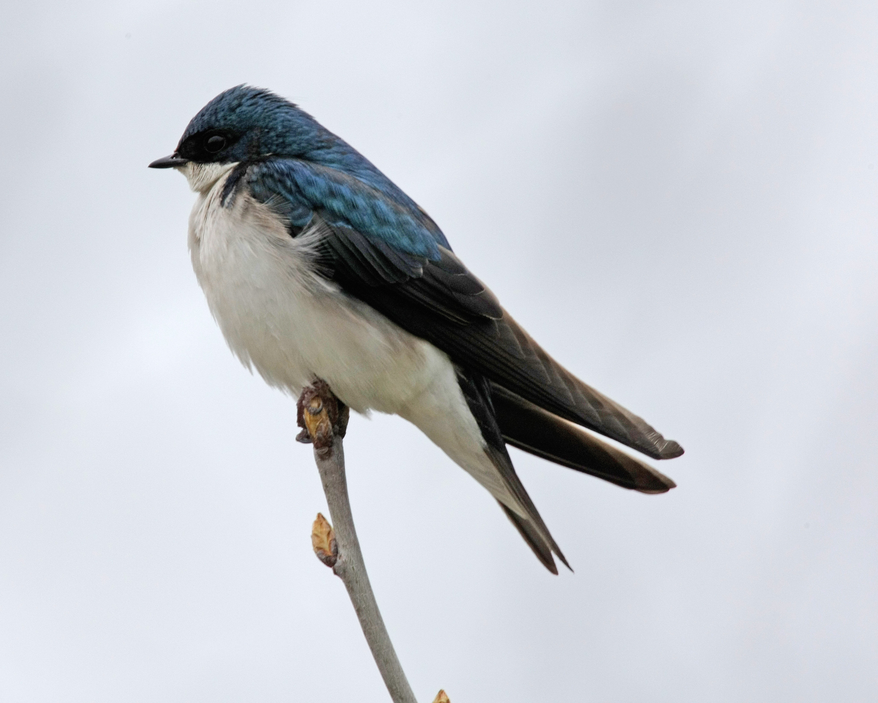 Tree Swallow wallpaper
