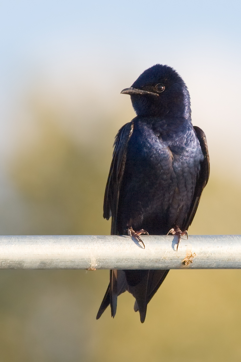Purple Martin wallpaper