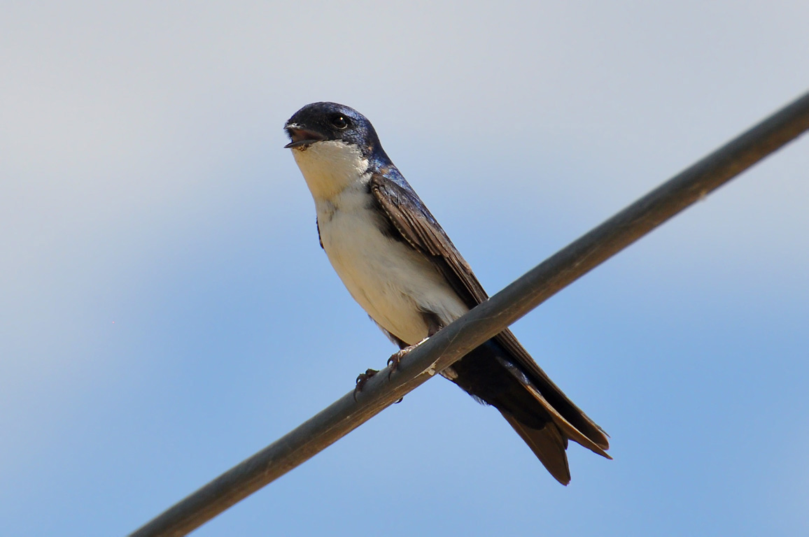Blue-and-white Swallow wallpaper