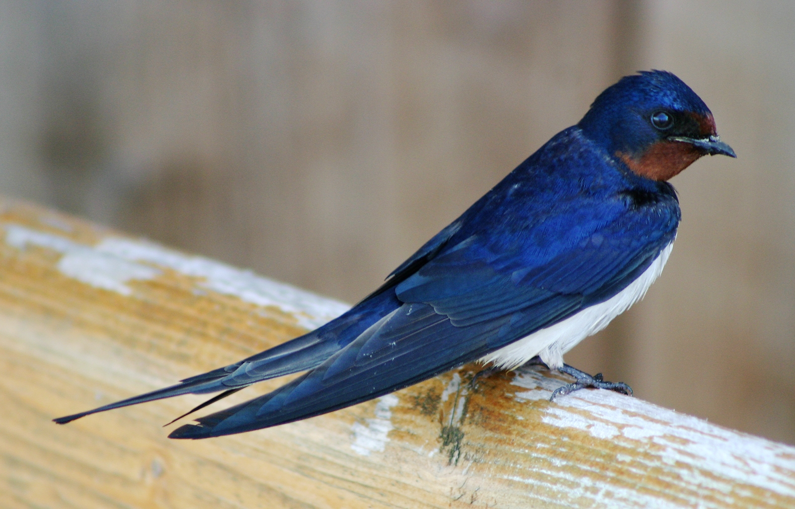 Barn Swallow wallpaper