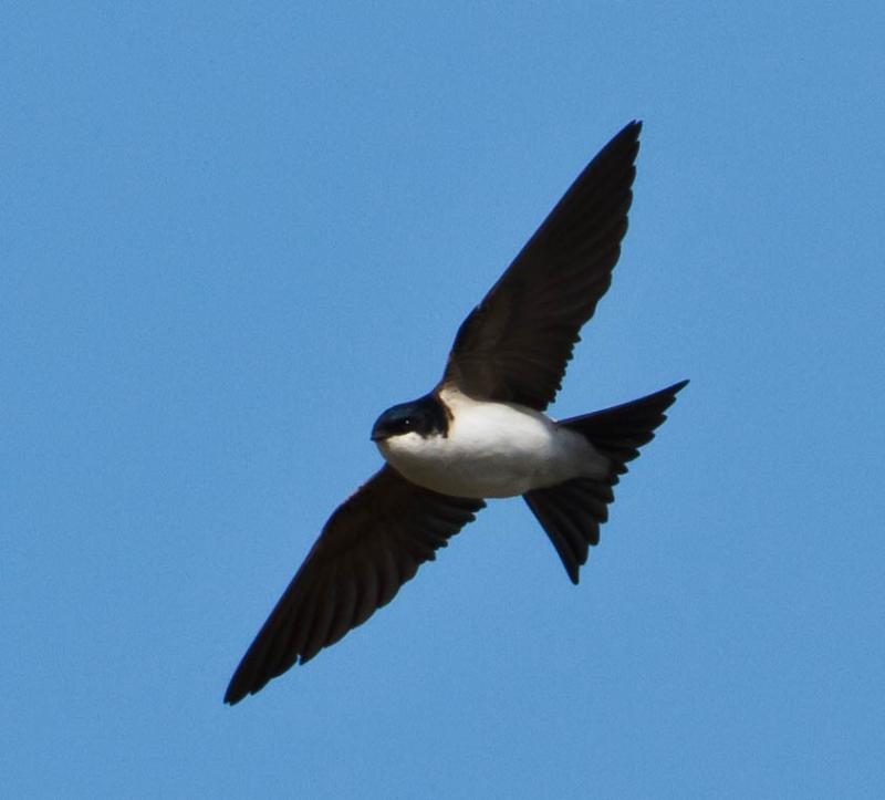 House Martin wallpaper
