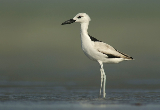 Crab Plover wallpaper