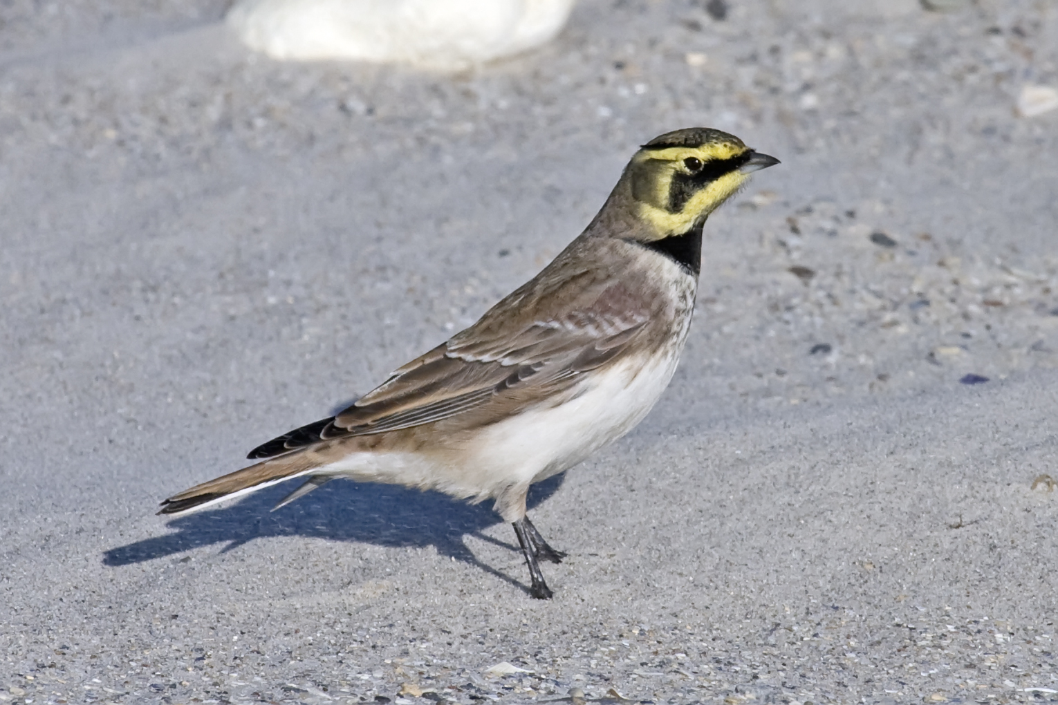Horned Lark wallpaper