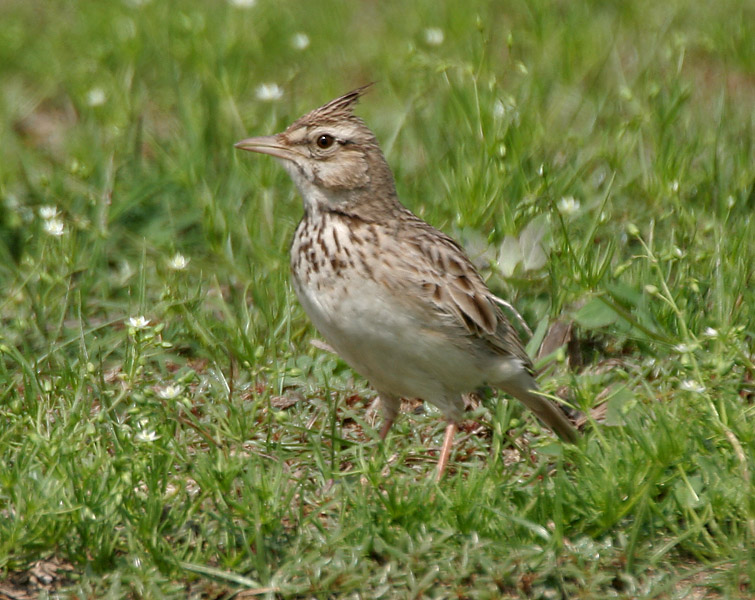 Crested Lark wallpaper