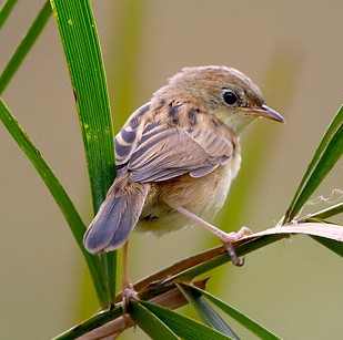 Golden-headed Cisticola wallpaper