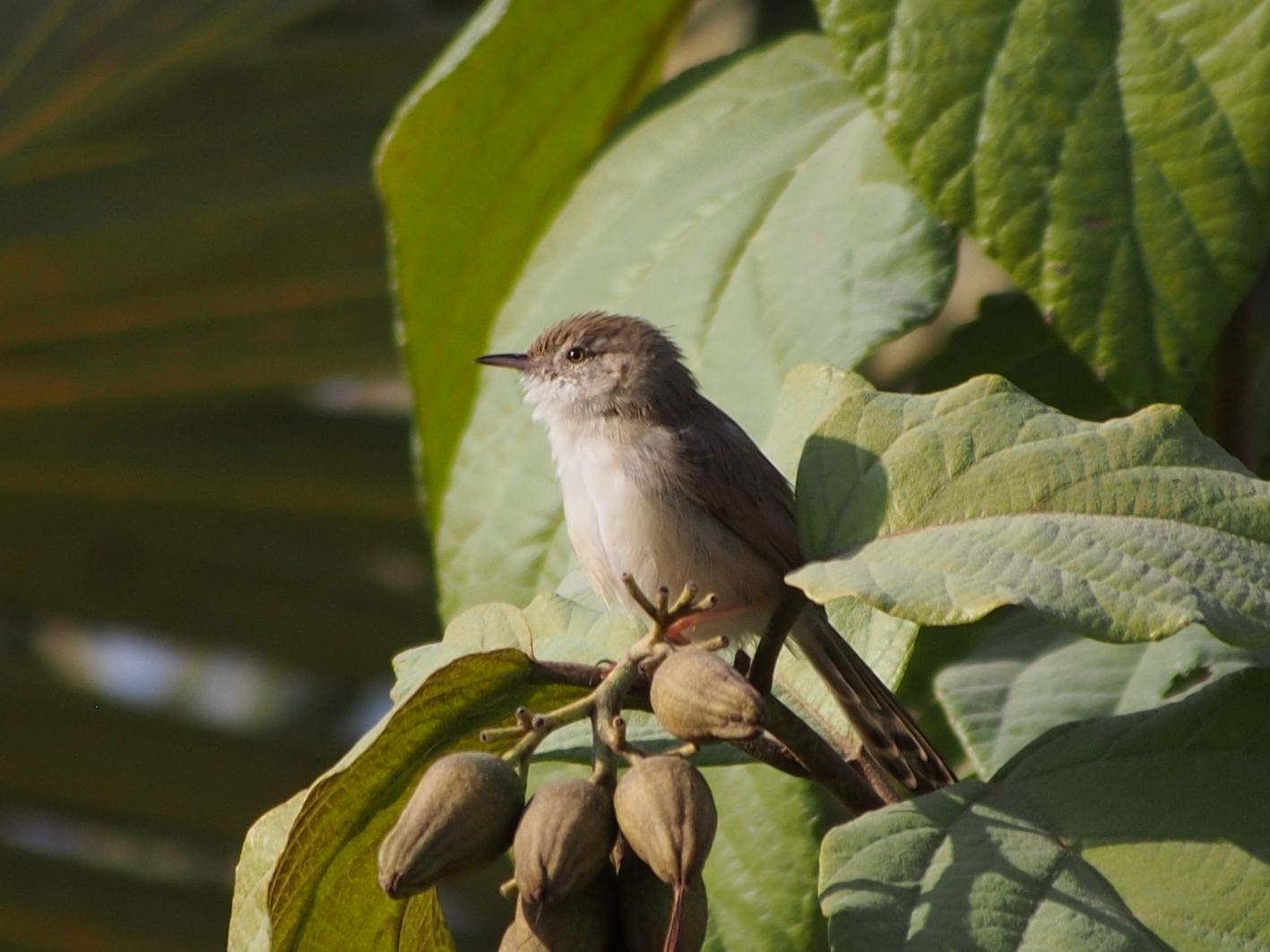 Graceful Prinia wallpaper