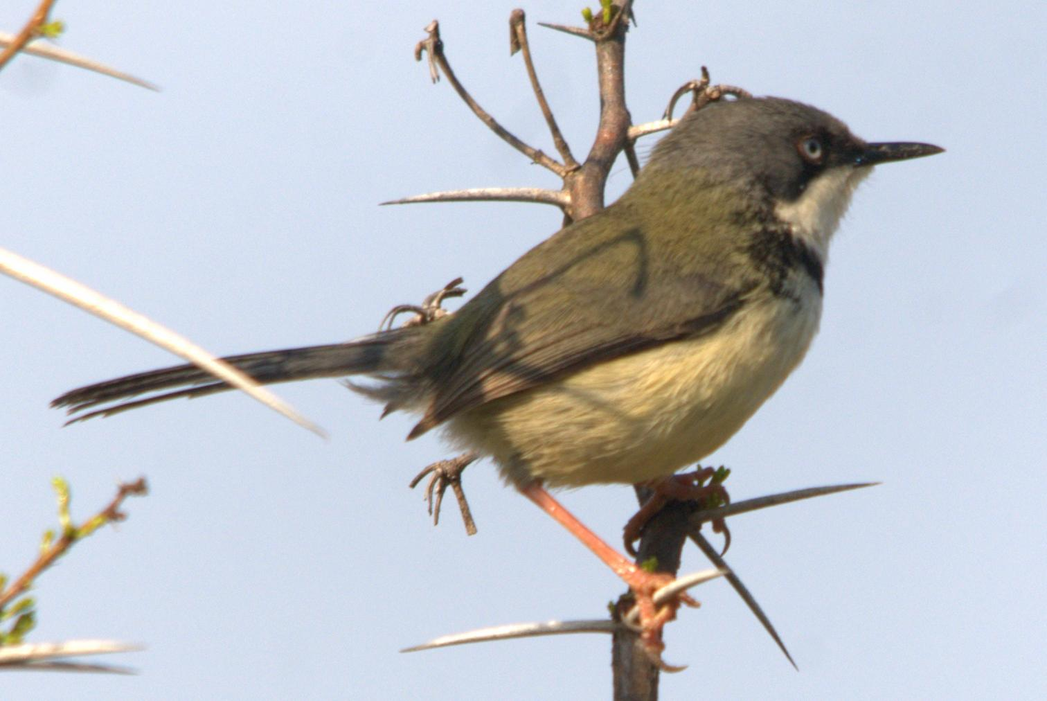Bar-throated Apalis wallpaper