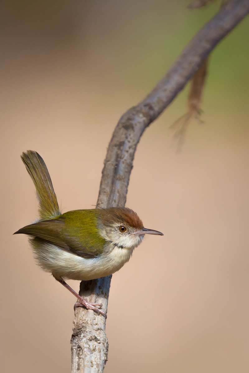 Common Tailorbird wallpaper