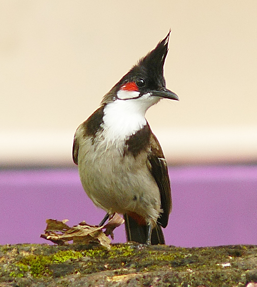 Red-whiskered Bulbul wallpaper