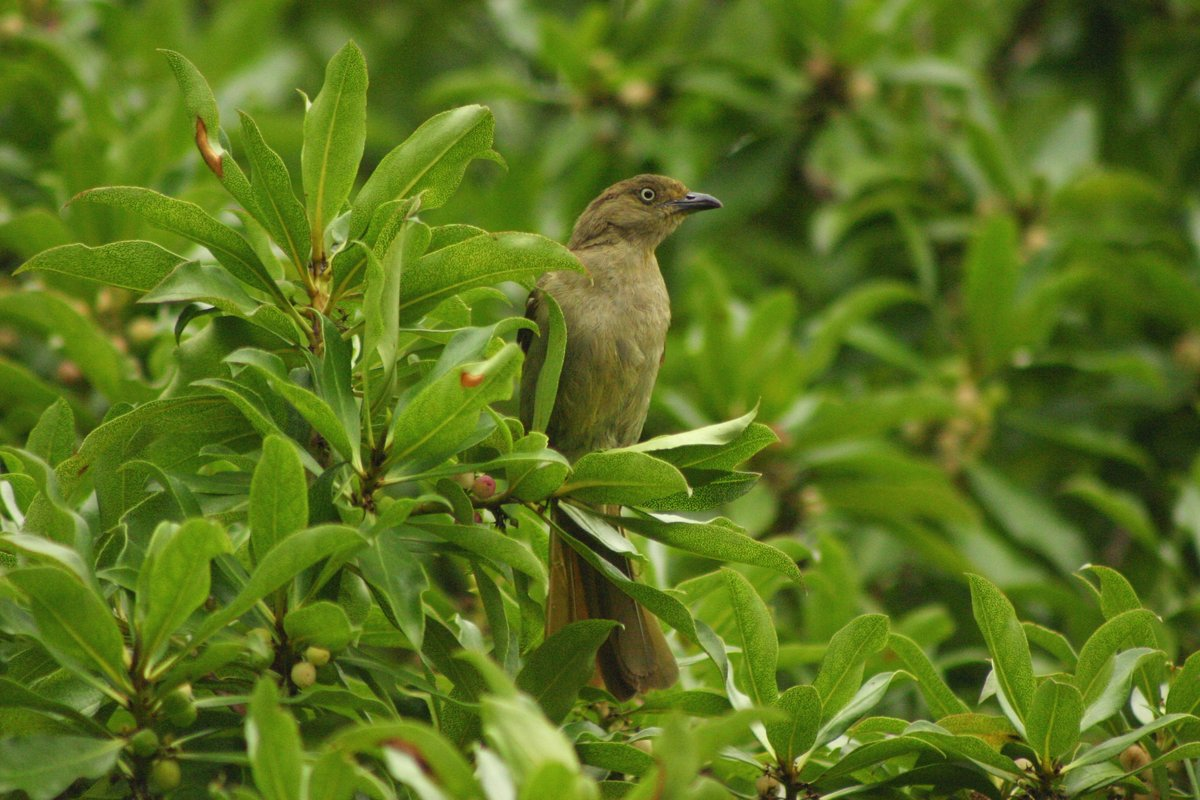 Sombre Greenbul wallpaper