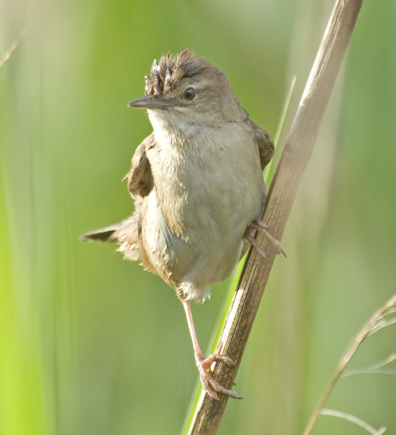 Grasshopper Warbler wallpaper