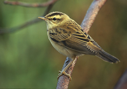 Sedge Warbler wallpaper