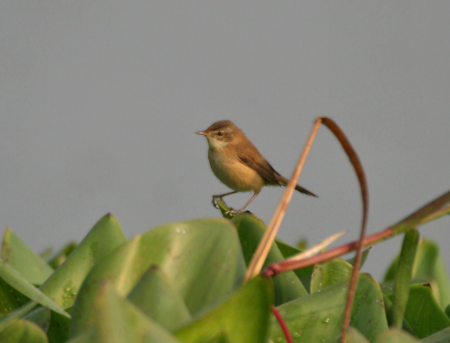 Paddyfield Warbler wallpaper