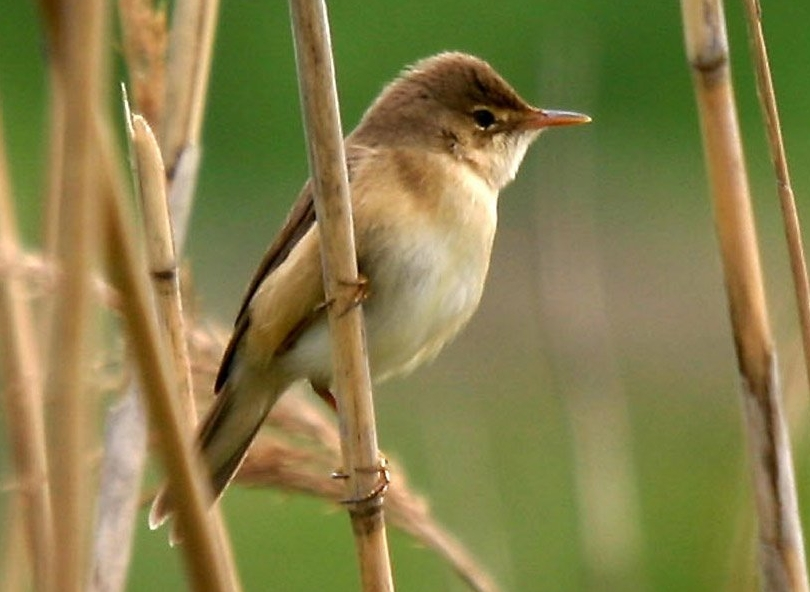 Eurasian Reed Warbler wallpaper