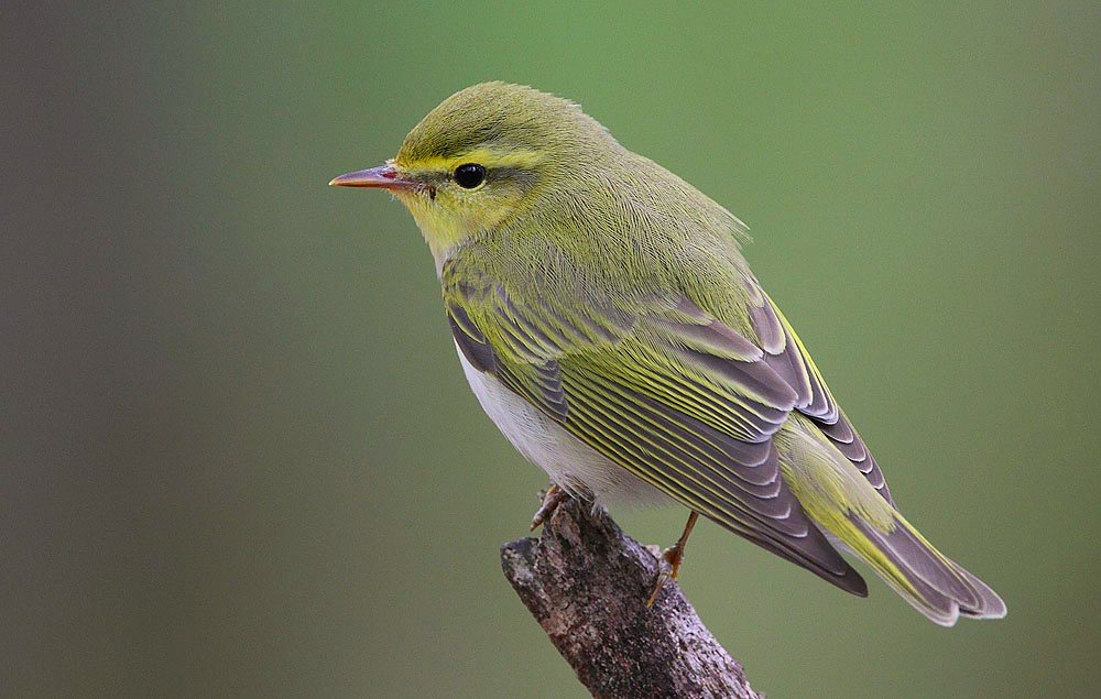 Izu Leaf-warbler wallpaper