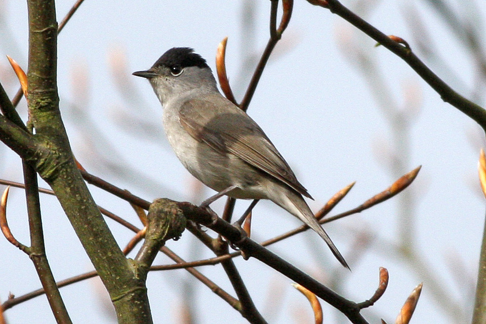 Blackcap wallpaper