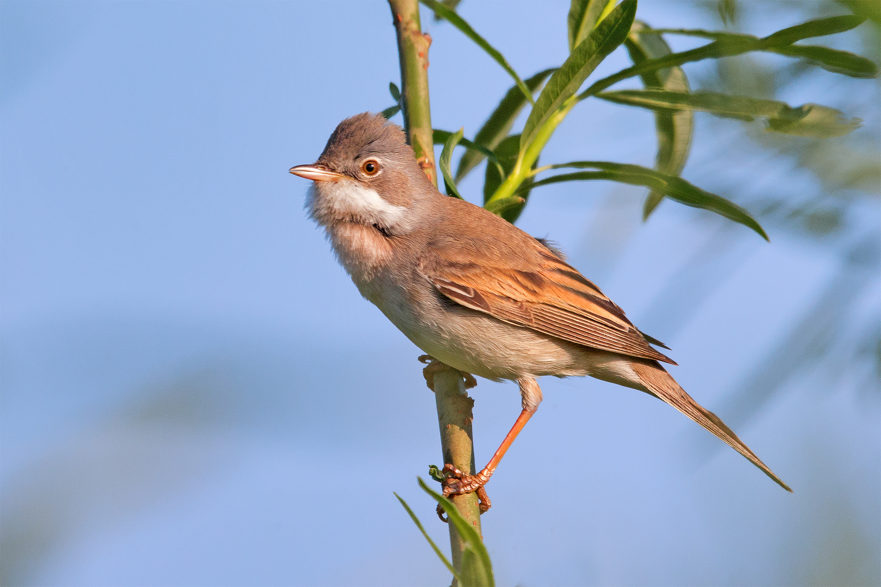 Whitethroat wallpaper