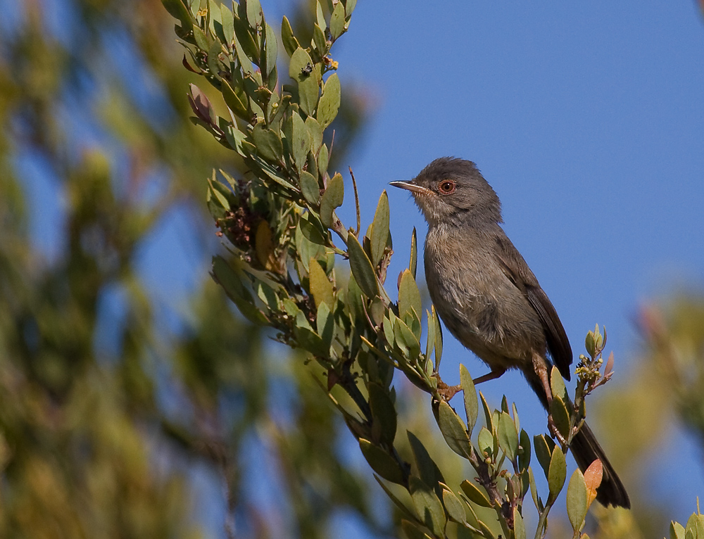 Dartford Warbler wallpaper