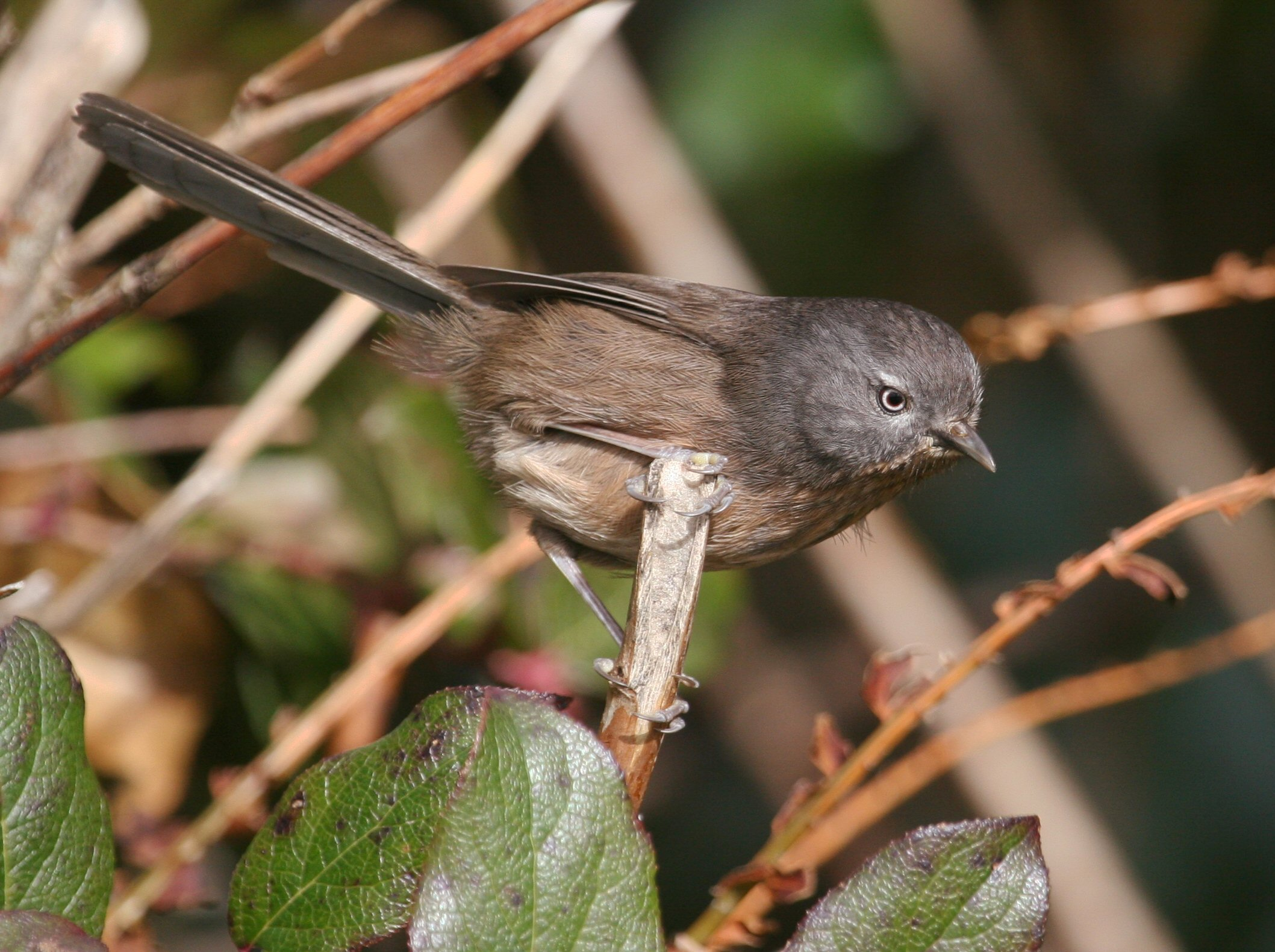 Wrentit wallpaper
