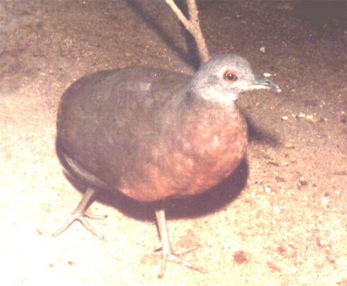 Brown Tinamou wallpaper