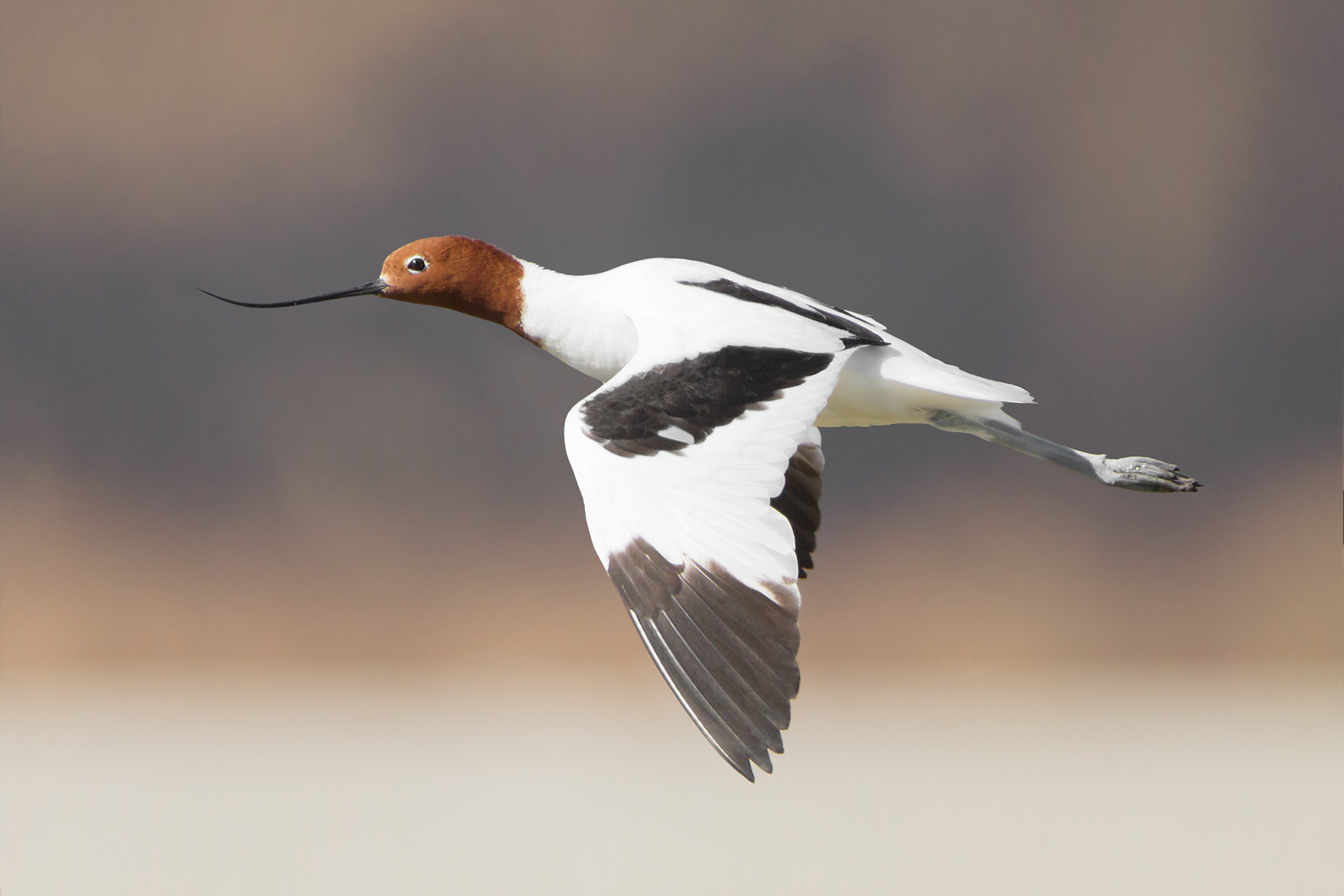 Red-necked Avocet wallpaper