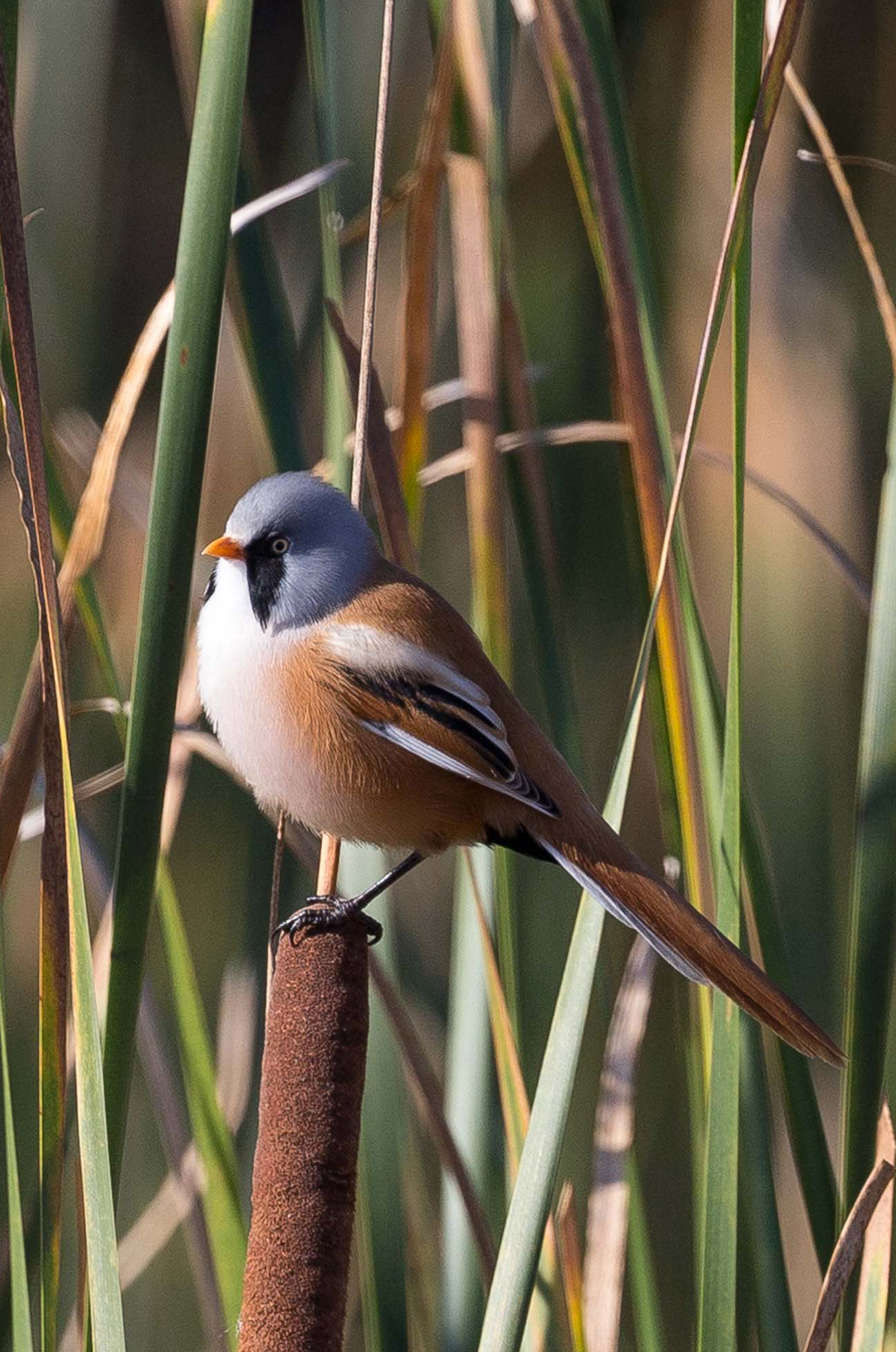 Bearded Reedling wallpaper