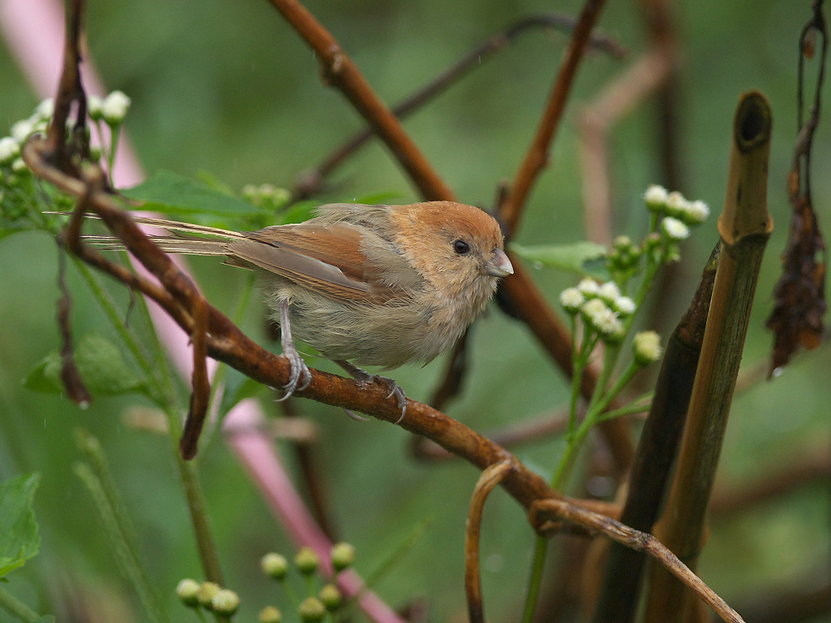 Vinous-throated Parrotbill wallpaper