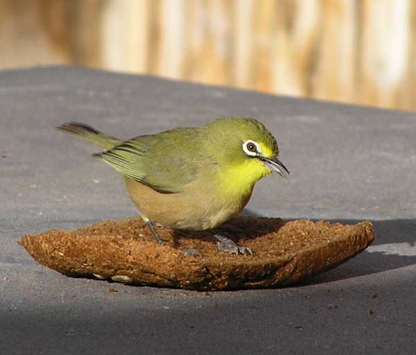 Cape White-eye wallpaper