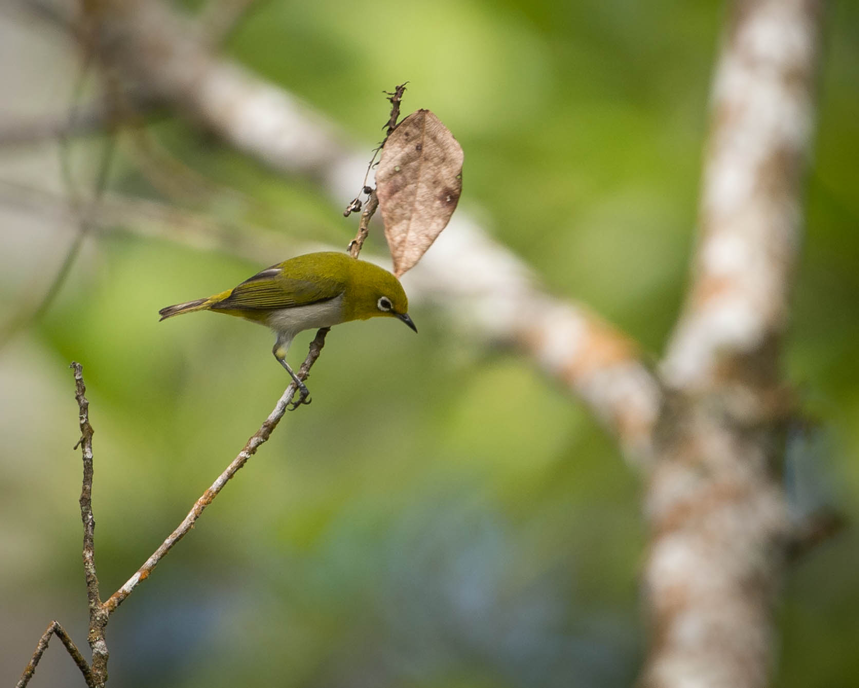 Mountain White-eye wallpaper