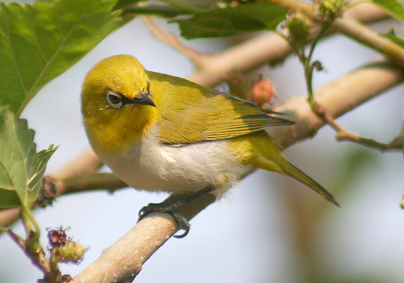 Oriental White-eye wallpaper