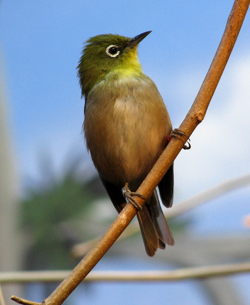Japanese White-eye wallpaper