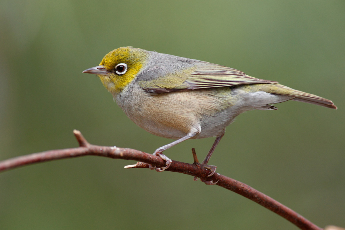 Silvereye wallpaper