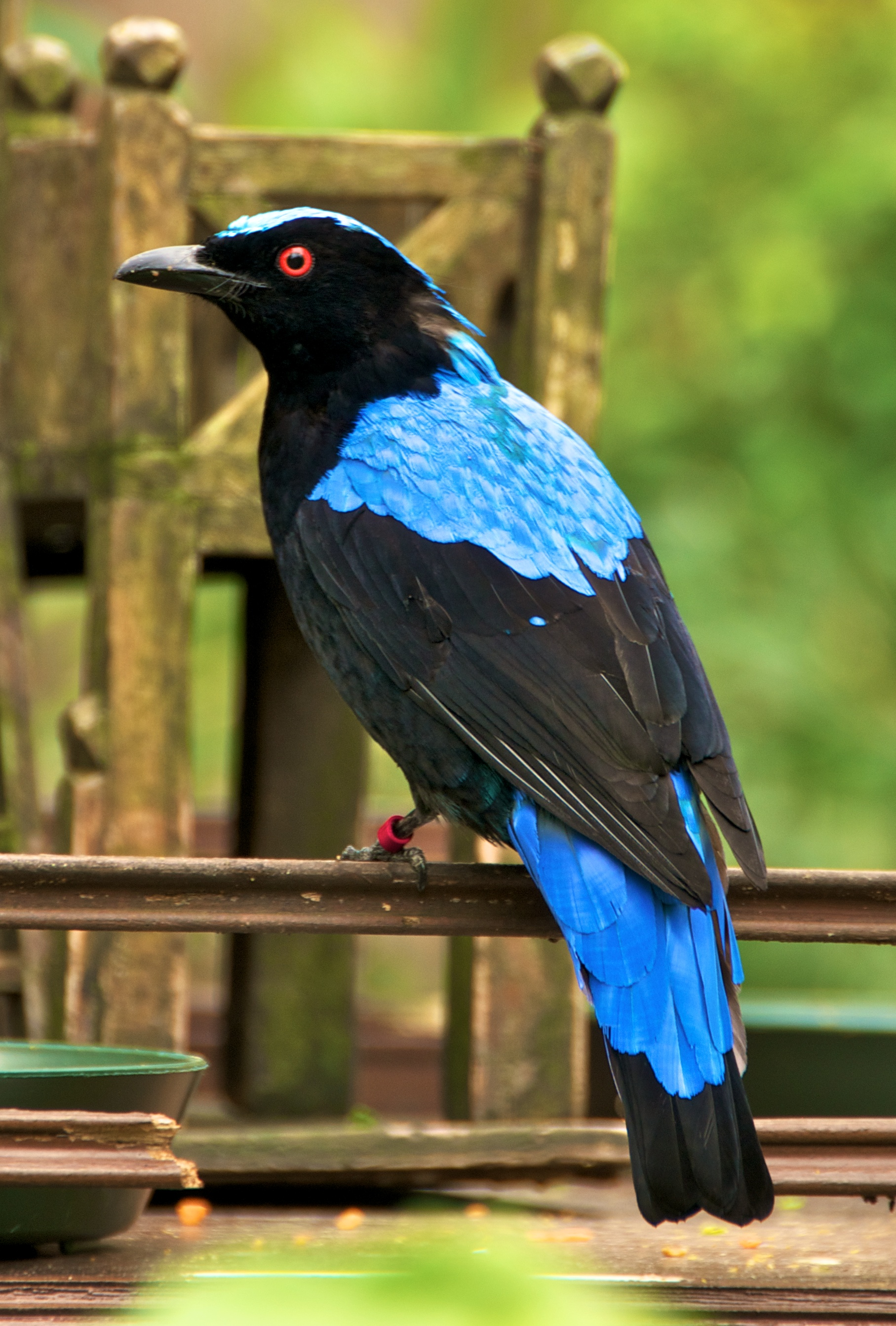 Asian Fairy Bluebird wallpaper