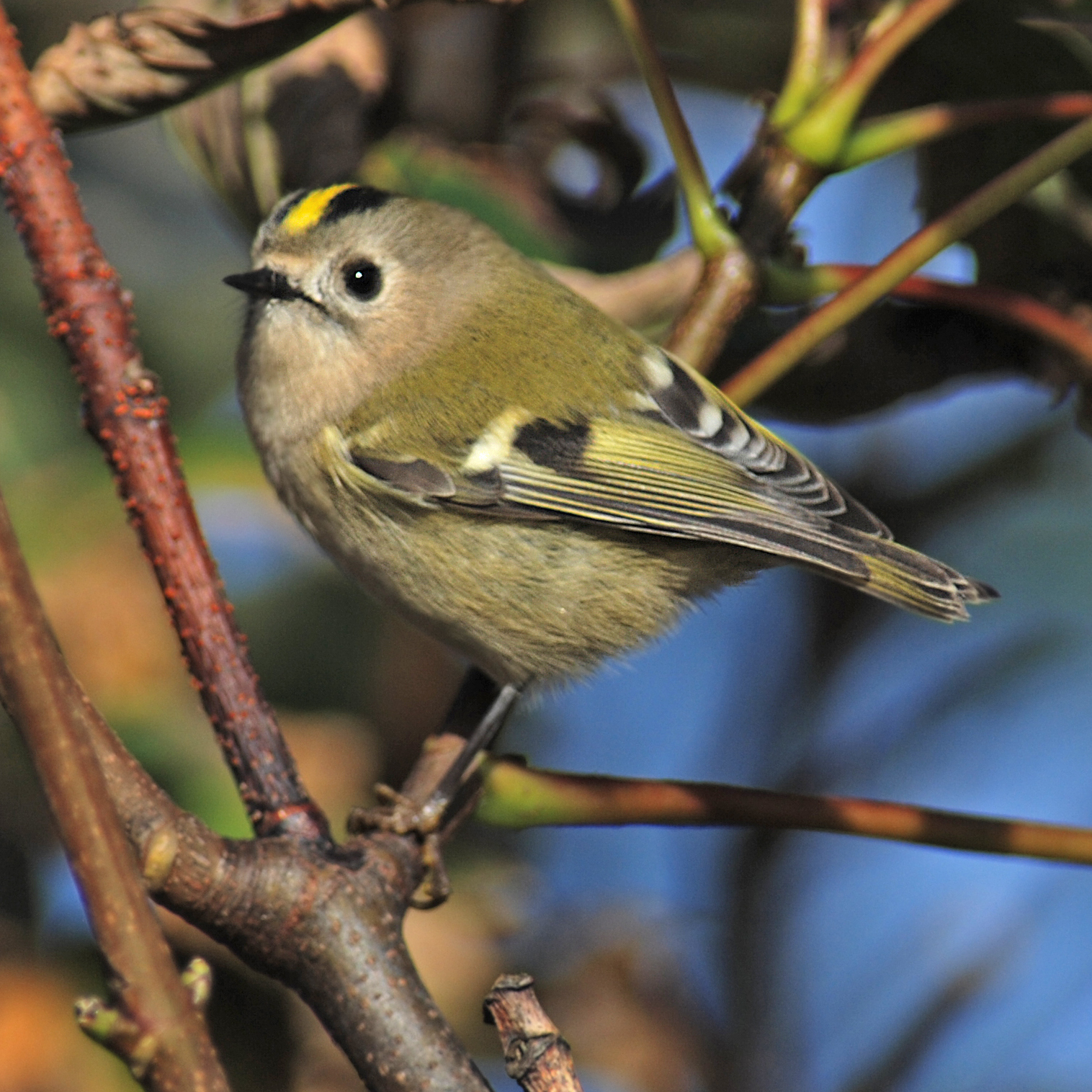 Goldcrest wallpaper