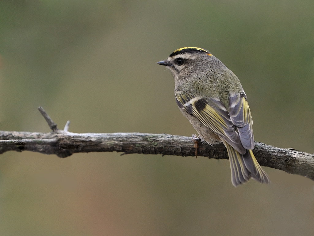 Golden-crowned Kinglet wallpaper