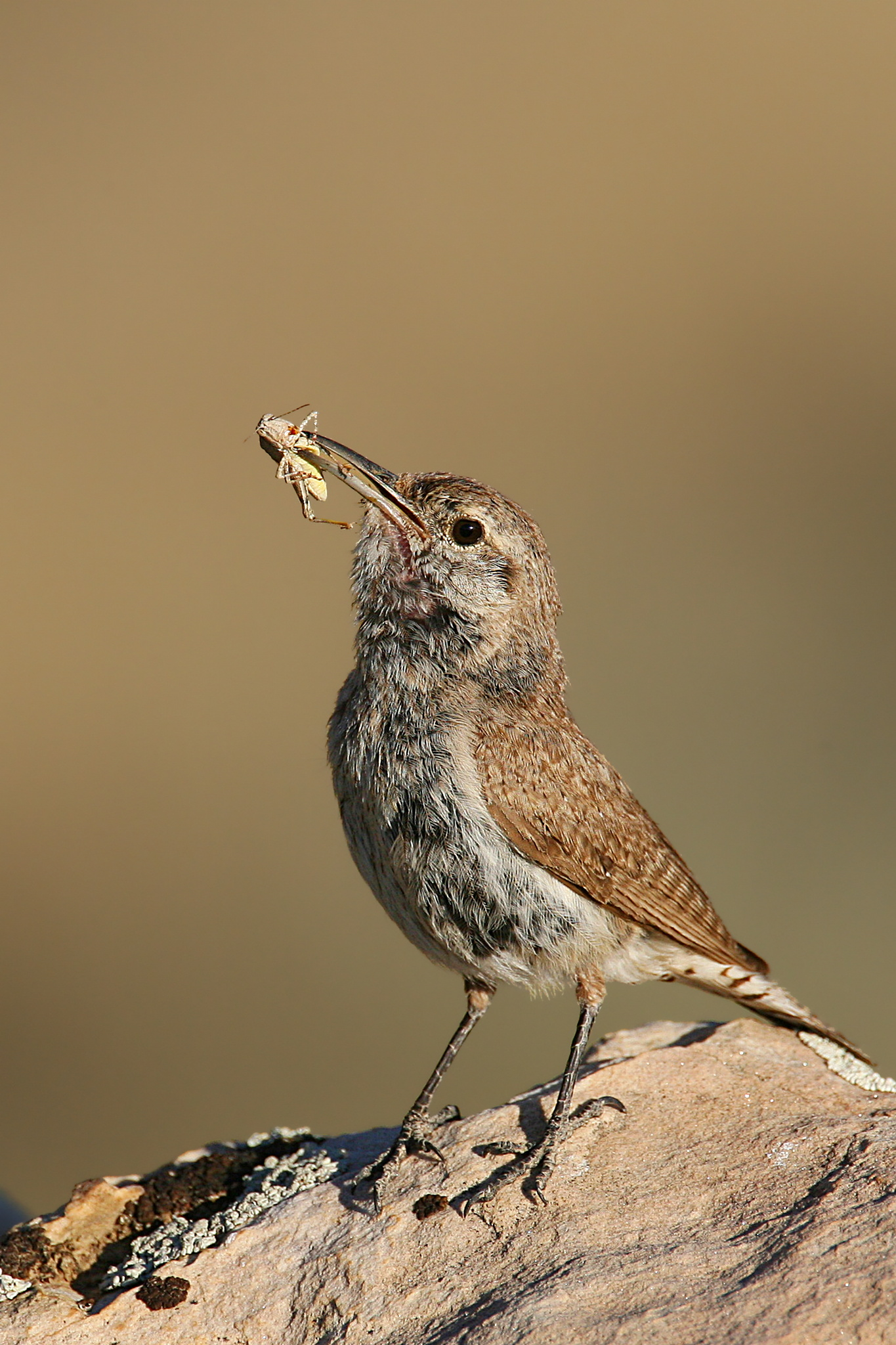 Rock Wren wallpaper