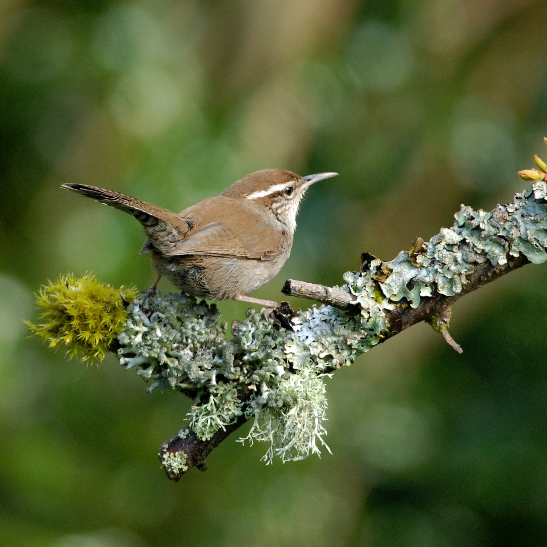 Bewick's Wren wallpaper